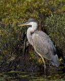 grand héron bleu - great blue heron