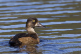 fuligule à collier - ring necked duck