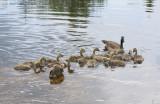 bernache du canada - canada geese