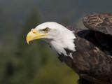 pyguargue à tête blanche - bald eagle
