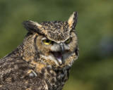 grand duc d amérique - great horned owl