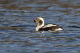 harelde kakawi - long tailed duck