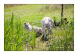 Parc des Félins - Two White Tigers of Sumatra - 2929