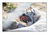 Parc des Félins - Combat de Tigres - 4740