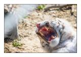 Parc des Félins - Blood fight among white tigers - 4761