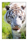 Parc des félins - Les Yeux de Tigre - 4545
