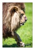 Parc des félins - Vieux Lion - 3168