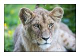 Parc des félins - Portrait du Lionceau - 3147