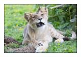 Parc des félins - Les dents du Lionceau - 2864