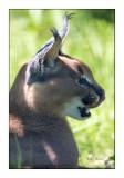 Parc des Félins - Profil de Chat - 3195
