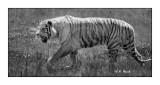 Parc des Félins - Beware of Tigers !!! - 3248
