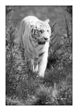 Parc des Félins - Attention au Tigre - 3533