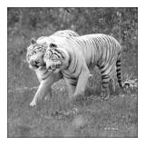 Parc des Félins - Tigres Calins - 3142