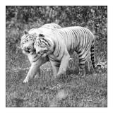 Parc des Félins - Tigres Calins - 3142 bis