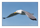 Sortie en mer - Goéland Leucophée en vol rasant - 128