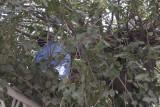 Urfa Cat in tree september 2014 2972.jpg