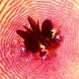 Center of a Stapelia Gigantea Blossom