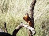 An Australian Brown Falcon