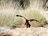 A Wedge-tailed Eagle