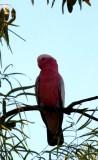 A Galah bird