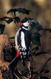 Woodpecker - Flaggspett - Hakkespett - Øygarden - Ormhelleren - Oterstien