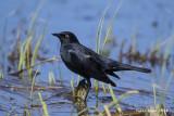 Rusty Blackbird .jpg