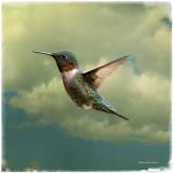 Ruby-Throated Hummingbird Male.jpg