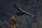 Golden Eagle pbase.jpg