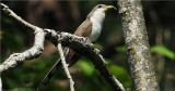 Yellow-billed  Cuckoo (Coccyzus americanus)