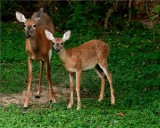 Whitetail Doe with her Fawn.