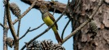 Great Crrested Flycatcher