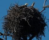 Bald Eagle at Nest