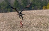 Bald Eagle Carrying Away a Fox Carcass ......