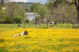 A nap in the buttercups