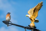 Bluebird - Eagle showdown.