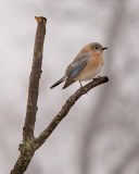 Winter Eastern Bluebird