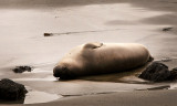 Northern Elephant Seals of Piedras Blancas in April