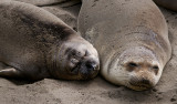 Northern Elephant Seals of Piedras Blancas in February
