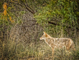 Prowling Coyote