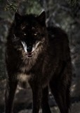 The Wolf at Your Door