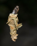 Spinning Bagworm