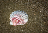 New Zealand Scallop