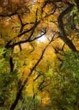 El Otoño - Autumn Color in the Bosque