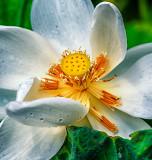 White Lotus 1