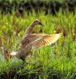Duck on Rice