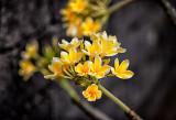 Frangipani / Plumeria