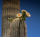 Saguaro Cactus on Sonoran Desert