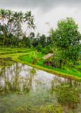 Flooded Rice Terrace