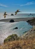 Pelicans Soaring - Sonoma Coast