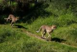 The Cheetah Run